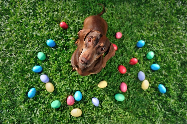 Top view of dachshund dog at the egg hunt