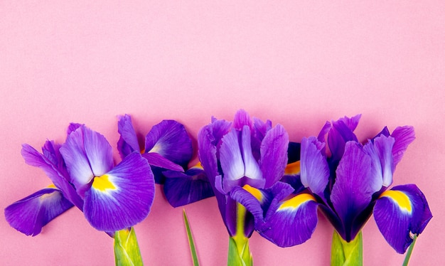 Top view of dark purple color iris flowers isolated on pink background with copy space