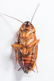 Top view of a dead cockroach isolated on white background