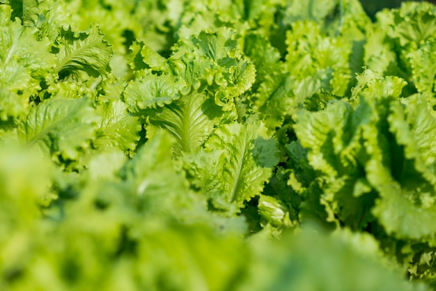 Top view delicious lettuce leaves