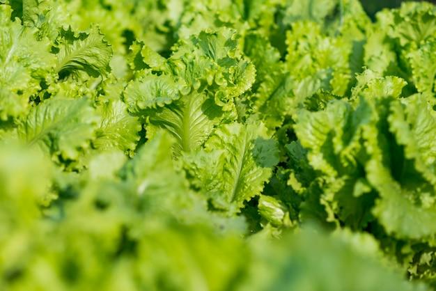 Вид сверху вкусные листья салата