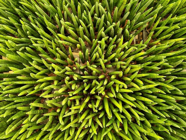 관상용 식물 농장의 드라세나 골렌시스 또는 원통형 뱀 식물의 상위 뷰
