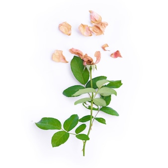 Top view of dried pink rose on white background.