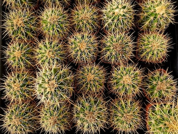 선인장 농장의 화분에 있는 상위 뷰 echinocactus grusonii