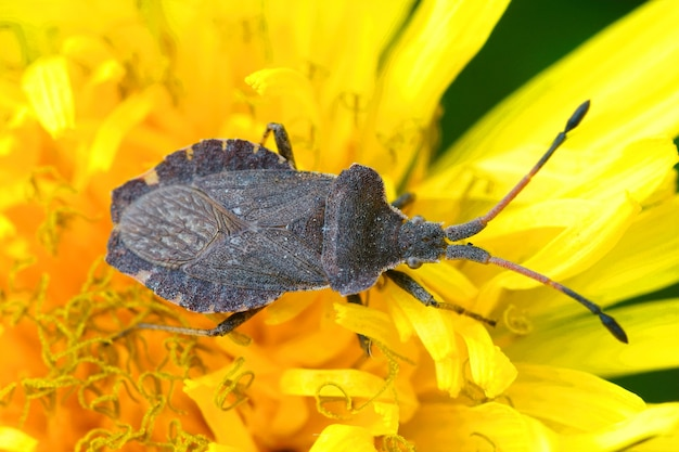 Top view of an enoplops scapha squashbug on a dandelion flower