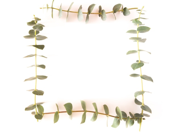 Top view of eucalyptus gunnii green leaves frame isolated on white background