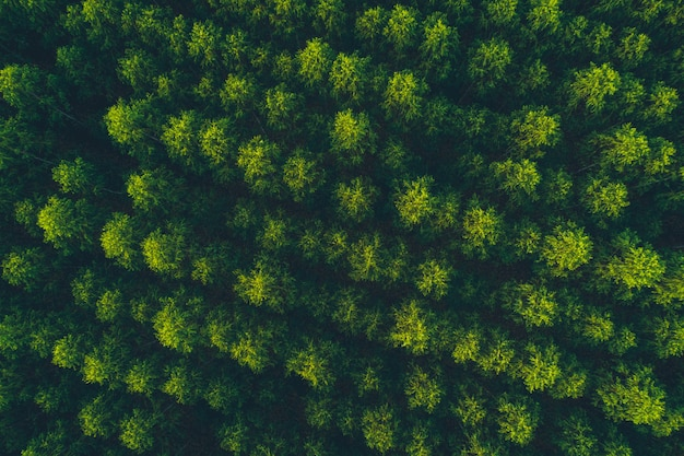 Top view eucalyptus tree forest