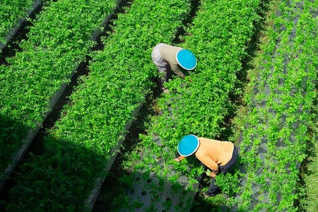 Top view farmer woman harvesting celery leaves in the field