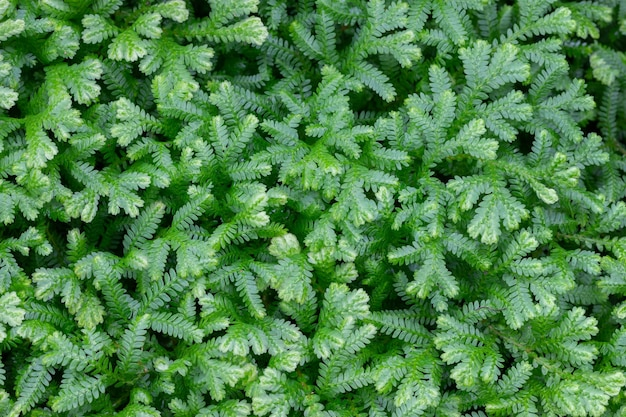 Top view of fern, selaginella involvens (sw.) spring. selaginellaceae