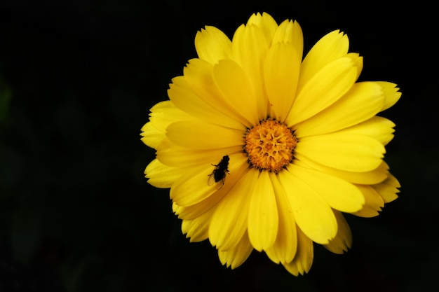 Top view of a fly  on a yellow daisy isolated