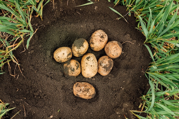 Top view of a fresh potatoes dug out of the ground on a farm.