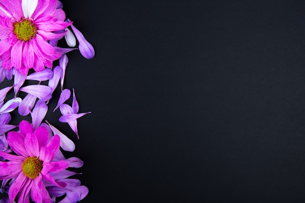 Top view of fuchsia color chrysanthemum flowers with scattered flower petals on black background with copy space
