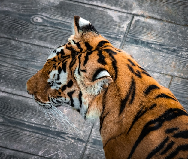 Top view of the fur of a beautiful siberian tiger