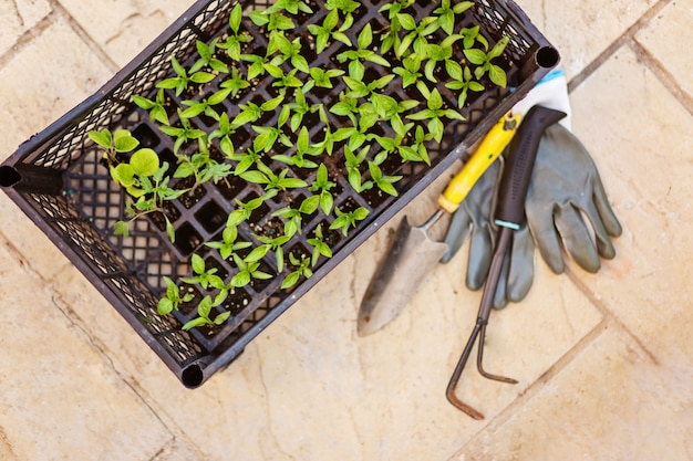 Top view of gardening grey gloves ,pepper sprouts, small shovel and rake on beton background.spring planting. green shoots background with text space. spring garden work concept. self-sustainability.