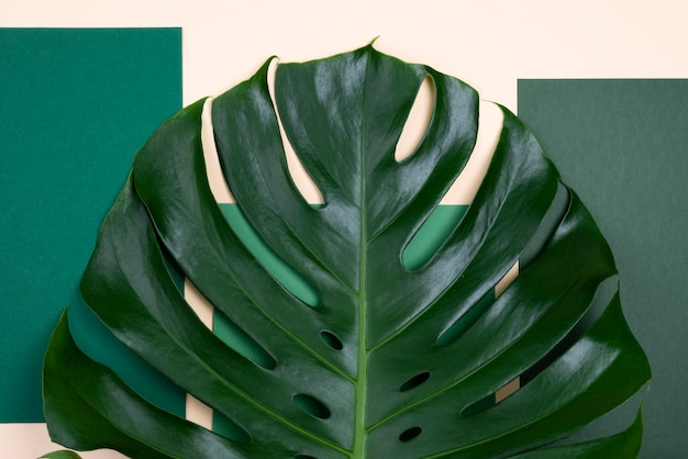 Top view of giant monstera leaf