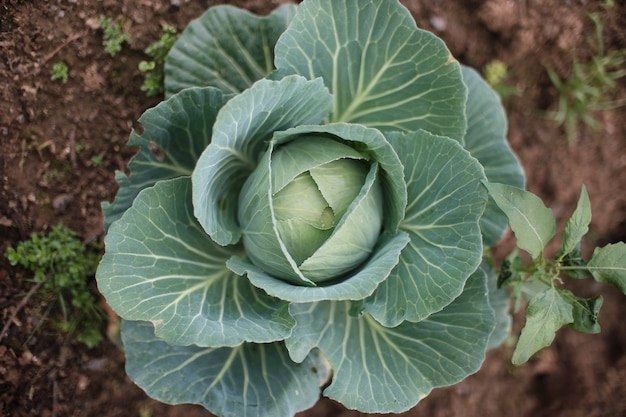 Top view of a green cabbage growing in the garden