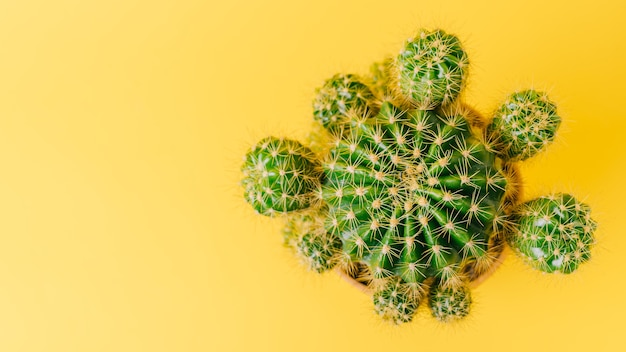 Top view of green cactus on yellow