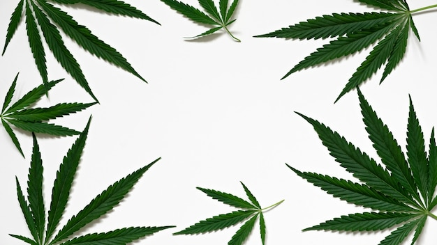 Top view of the green leaves of the cannabis plant cannabis on a white background