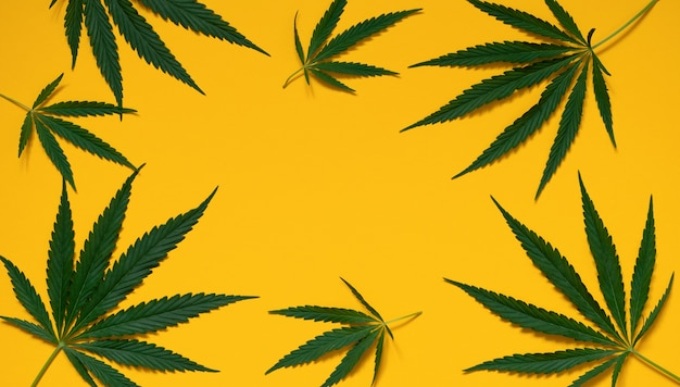 Top view of the green leaves of the cannabis plant cannabis on a yellow background