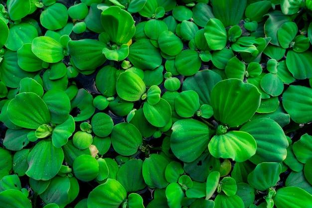 Вид сверху зеленые листья водяного салата, плавающие на поверхности воды. pistia stratiotes или водяной салат - водное растение.