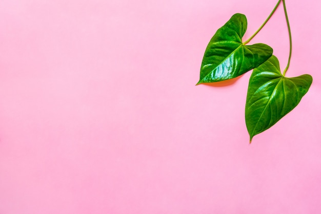 Top view of a green leaves on pink background. copy space.