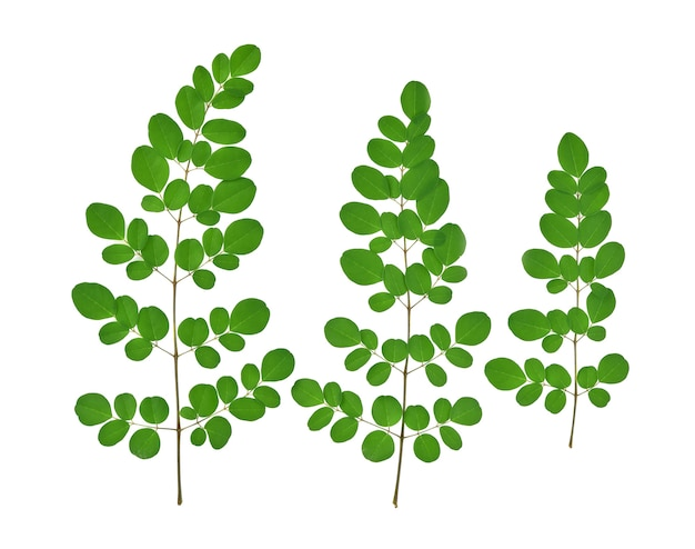 Top view of green moringa leaves,tropical herbs isolated on white background