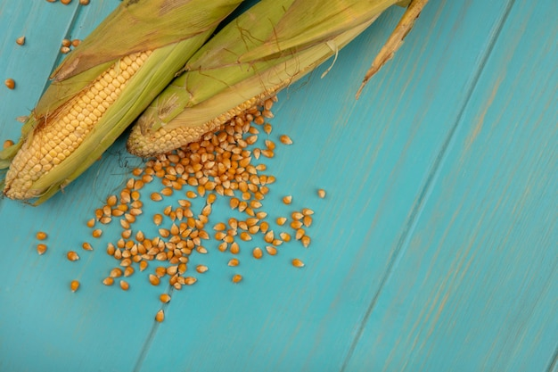 Top view of healthy corns with corn kernels isolated on a blue wooden table with copy space