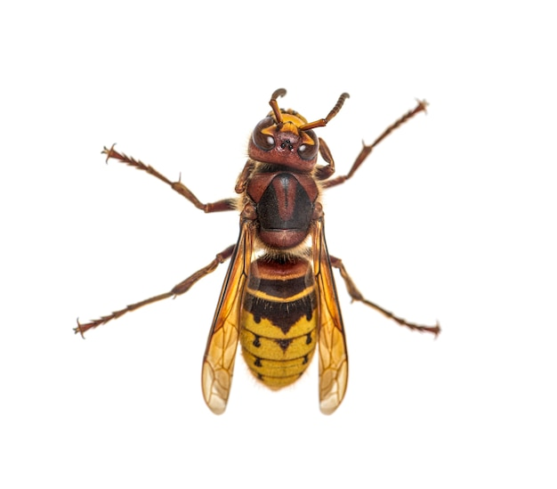 Top view of a hornet, vespa crabro, isolated on white