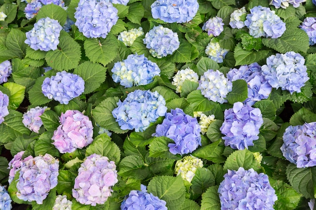 Top view hydrangea flower (hydrangea macrophylla) in a garden.