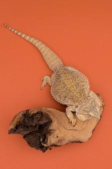 Vista dall'alto di iguana seduto su un pezzo di legno