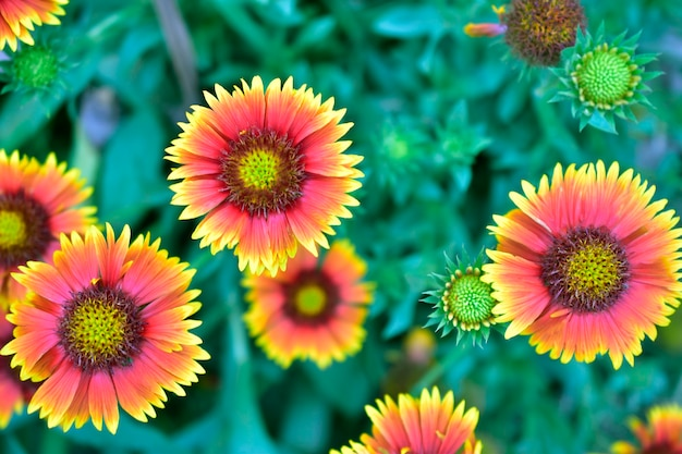 Top view of indian blanket sunflower