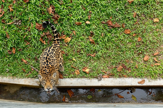 Top view of jaguar looking up in nature