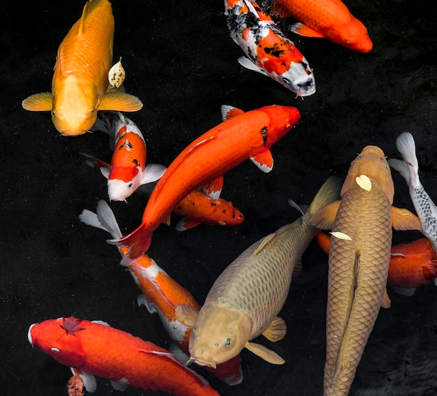 Vista dall'alto koi pesce che nuota