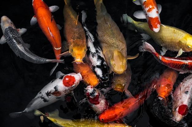 상위 뷰 잉어 물고기