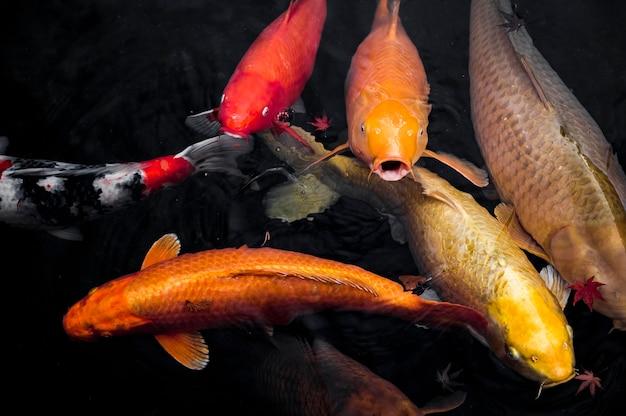 Вид сверху рыба кои