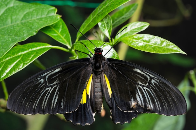 Top view majestic black butterfly