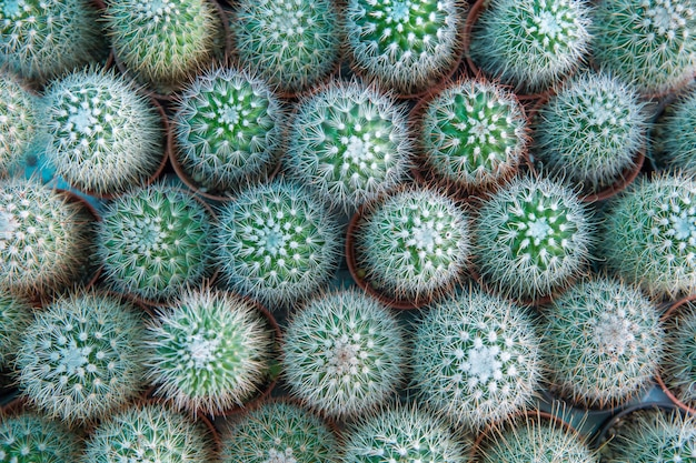 Top view of many mini cactus