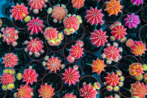 Top view of many mini colorful cactus