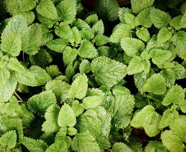 Top view mint plants