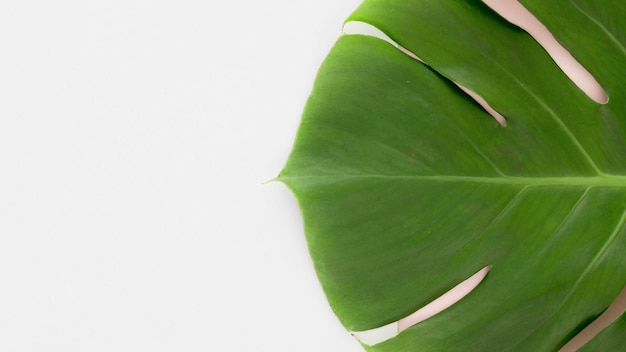 Top view of monstera leaf with copy space