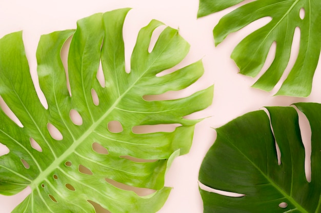 Top view of multiple monstera leaves
