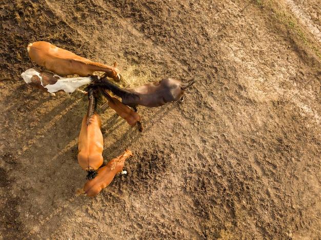 農場の木箱から干し草を食べる馬のグループの上面図。ドローンからの空撮