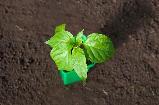 토양 바닥에 냄비 서에서 고추 식물의 최고 볼 수 있습니다.