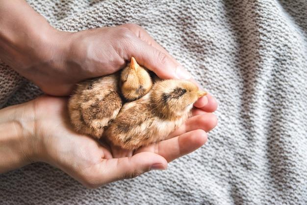 Вид сверху человека, держащего коричневых цыплят на ткани