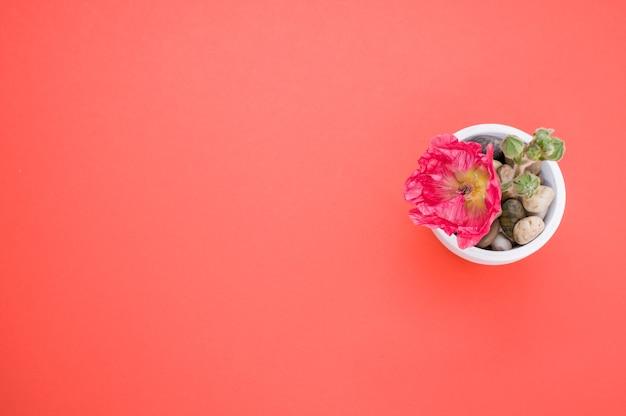 桃色の表面に置かれた小さな植木鉢のピンクのカーネーションの花の上面図