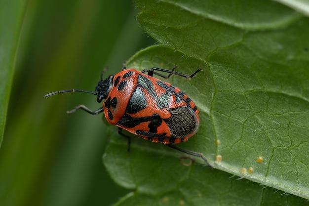 배경이 흐릿한 잎에 있는 빨간색과 검은색 악취 버그의 상위 뷰