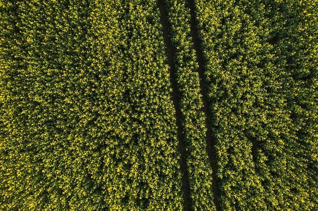 Вид сверху желтого поля рапса после дождя в беларуси, в сельскохозяйственной зоне. концепция развития аграрного сектора.