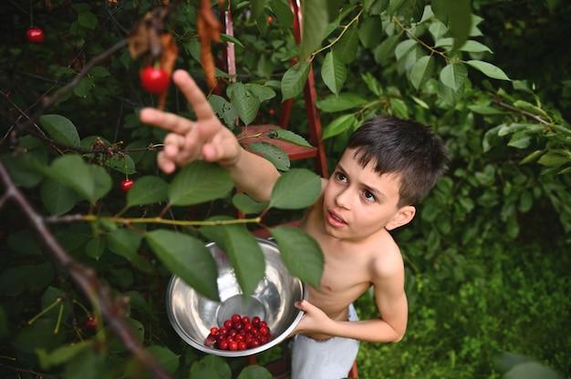 정원에서 체리를 따기 위해 손을 위로 당기는 사랑스러운 소년의 꼭대기. 여름날 체리 수확