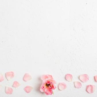 Вид сверху красивой весенней розы с лепестками и копией пространства