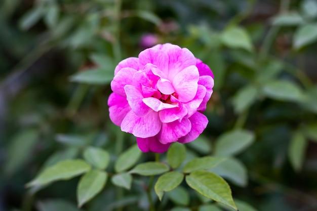 家の中の葉と庭に咲いたピンクのバラの上面図
